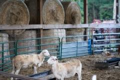 Lambs at High Hope Farm